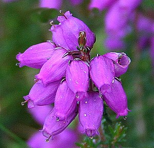 English: Bell Heather (Erica cinerea) The tip ...