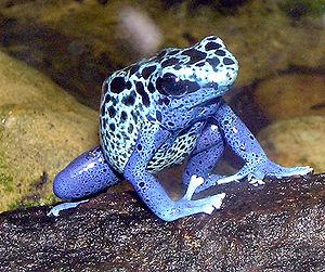 Blue.poison.dart.frog.arp
