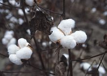 cotton plant, Texas, 1996, after chemical haulm (topkilling Chemical ; usually by the Monosodium methyl arsenate used to quickly kill the leaves that would interfere with harvesting machines). This chemical is a growing source of residual contamination of soils by arsenic, which is not degradable; Photo courtesy of USDA Natural Resources Conservation Service.
