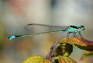 Common Bluetail, a widespread damselfly in Afr...