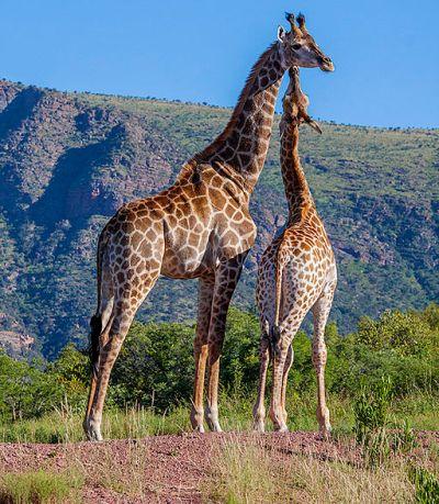 Giraffe mom calf