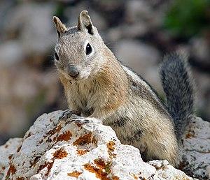 Golden-mantled Ground Squirrel (Spermophilus l...