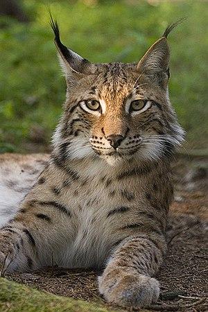 Eurasian Lynx العربية: منظر لوجه وشق أوراسيا. ...