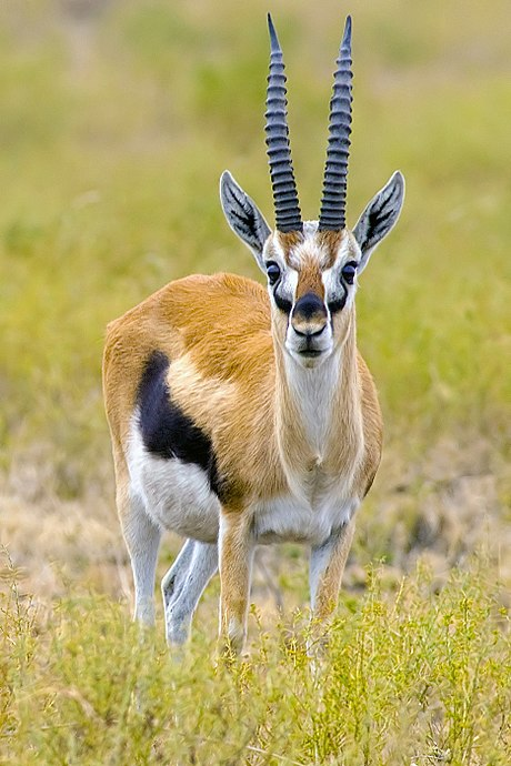 africa tanzania thomsons gazelle eudorcas thomsonii - HD934×1400