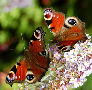 A pair of peacock butterflies - the first I've...
