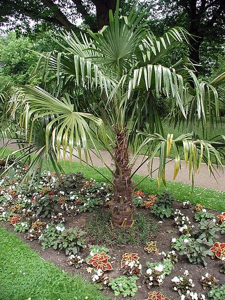 Chinesische Hanfpalme Trachycarpus Fortunei Exotische Pflanzen Und