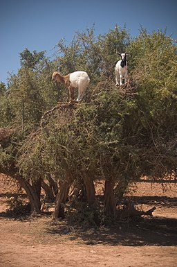 Goats on an Argan (Argania spinosa) tree in Morocco