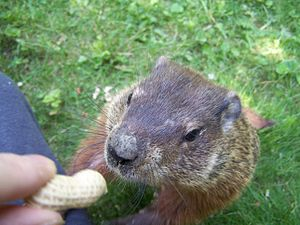 Groundhog being fed a peanut