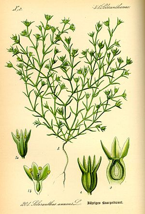 Illustration Scleranthus annuus0