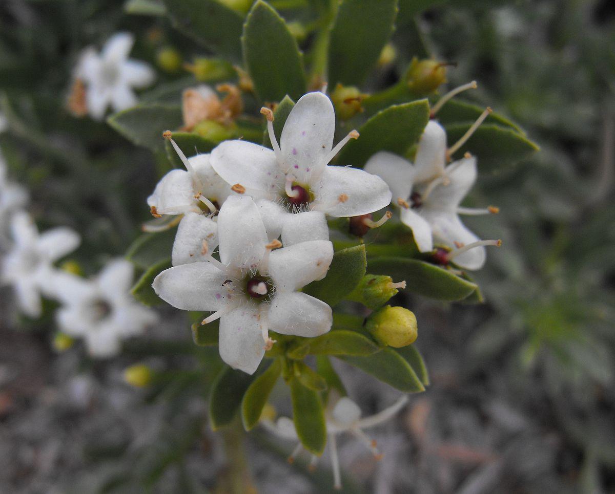 Myoporum Parvifolium Wikipedia
