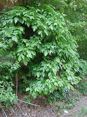 Poison ivy on a road bank, on Ohio State Route...
