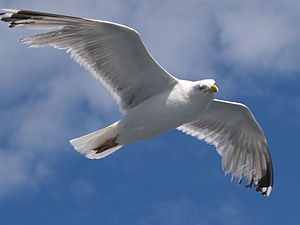 Flying Herring Gull (Larus argentatus) on the ...