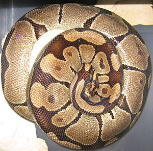 Female ball python (Python regius) brooding a ...