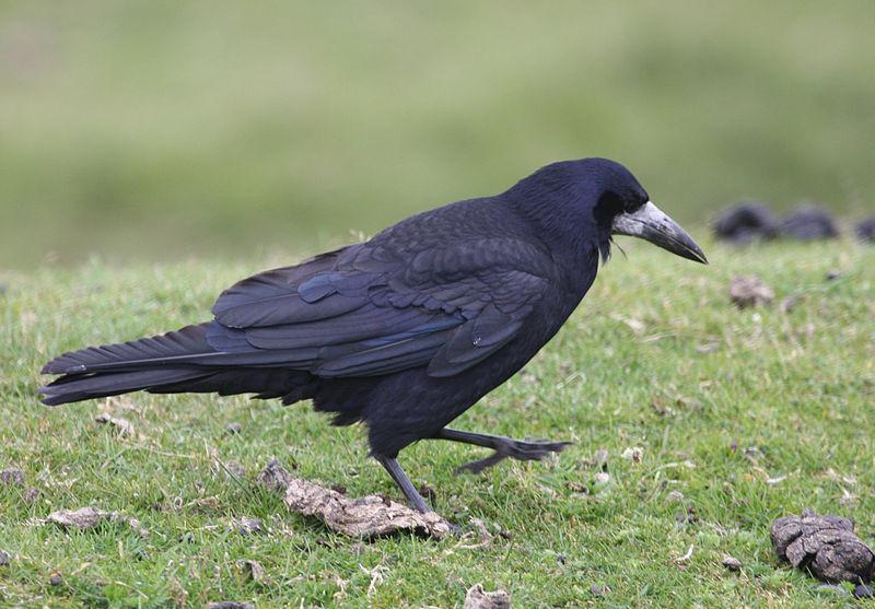 File:Corvus frugilegus -Dartmoor, Devon, England-8.jpg