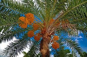 Date palm tree বাংলা: খেজুর গাছ