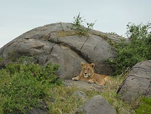 English: Lioness on rocks in Serengeti Nationa...