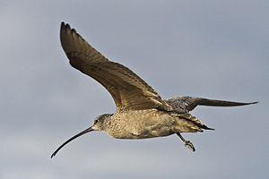 Long-billed Curlew (Numenius americanus), Morr...