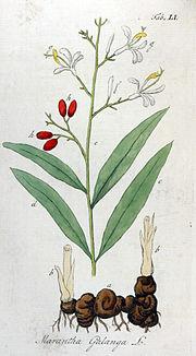 Lengkuas (Alpinia galanga)