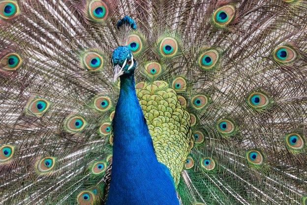 Peacock in his wedding dress (16434368864).jpg