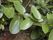 Smilax melastomifolia Sm. – Hoi kuahiwi (Hawaiʻi)