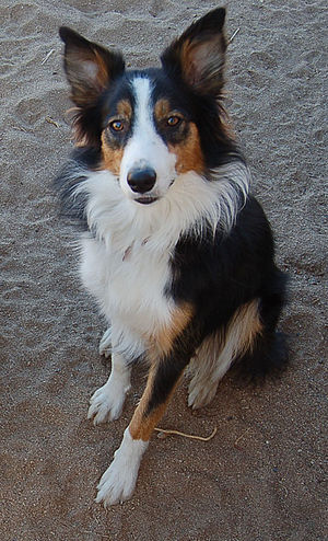 English: Tri color border collie