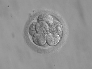 8-cell embryo for transfer