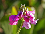 Bunga Fabaceae