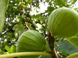 English: Figs in Georgia