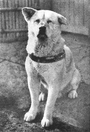 Hachiko of later years.