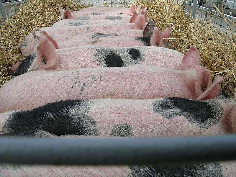 File:Pig transport.JPG