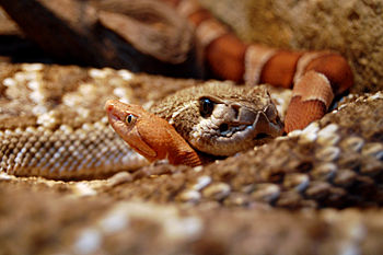 English: Western Diamondback and Copperhead in...