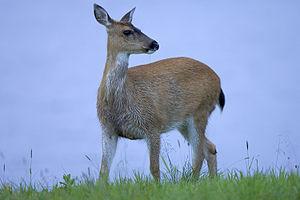 English: Sitka Black-tailed deer (Odocoileus h...