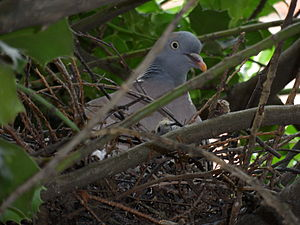 English: A common wood pigeon with nestling in...