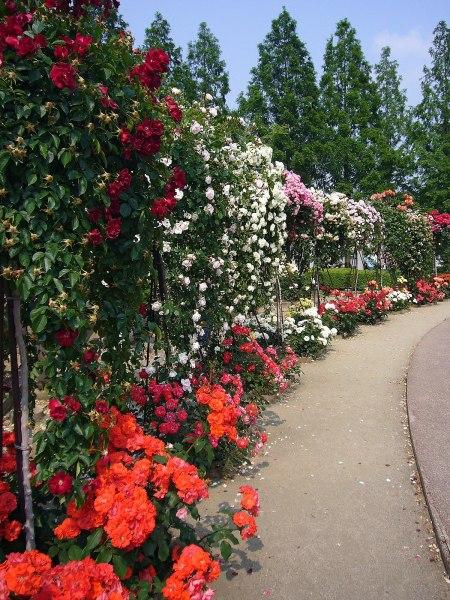 rose garden Rose garden - Wikipedia
