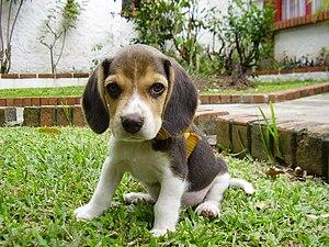 Beagle de 60 dias