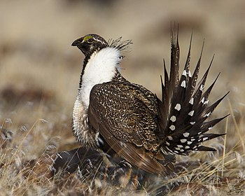 A male Sage Grouse (also known as the Greater ...