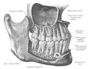 The permanent teeth, viewed from the right.