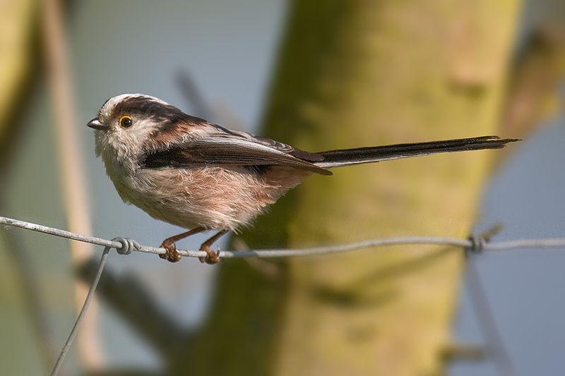 Archivo:Long-tailed Tit Aegithalos caudatus.jpg