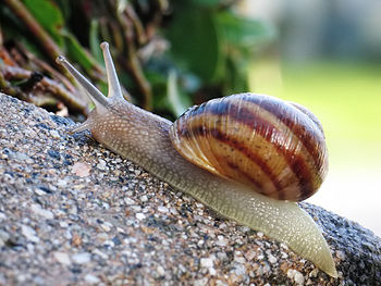 English: Common variety snail Comment by F. We...
