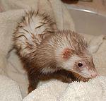 Ferret after a shower