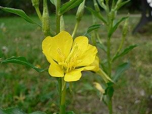 The evening primrose flower (O. biennis) produ...
