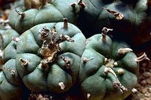 Dotata di radici molto grosse, la Lophophora è caratterizzata da un fusto globulare, con protuberanze arrotondate dotate di areole dall'aspetto di peluria lanosa molto evidente, in special modo nell'areola centrale dalla quale spuntano piccoli fiori di colore rosa, bianco o giallo contenenti pochi semi neri.