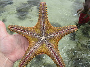 English: Starfish in the Indian Ocean, near Mo...