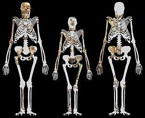 English: Malapa Hominin 1 (MH1) left, Lucy (AL...