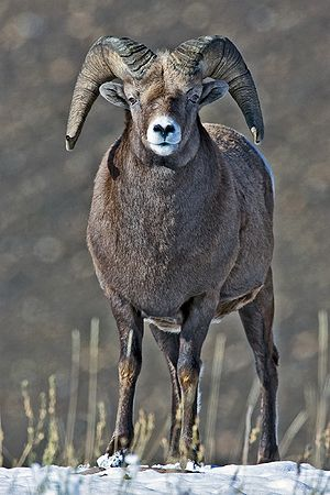 Big Horn Sheep (Male), Near Jasper, Alberta