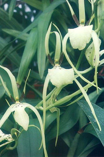 English: Brassia gireoudiana (an orchid) Downl...