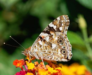 English: A Painted Lady butterfly (Vanessa car...