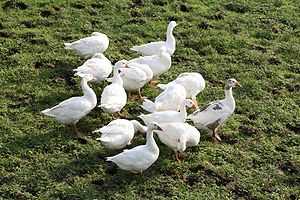 Domestic geese.
