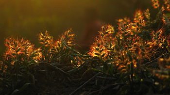 English: Moss Flowers on flame in the rays of ...