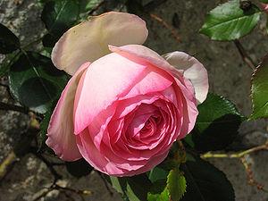 Sort of roses named Pierre de Ronsard